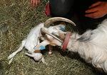 Kun pikkuinen on saatu ulos, Lahja aloittaa vastasyntyneen hoitamisen.