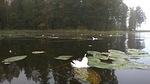 Pelloille tankkaamaan tai jo muuttomatkalle ennättäneistä aikuisista joutsenista ei järvellä ollut enää jäljellä kuin siellä täällä kelluvia höyheniä