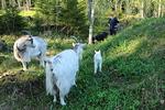 Jippu, Eevertti ja Kaija seurasivat Lahjan ja kilin touhuja huomaavaisesti hieman kauempaa
