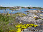 Jopa paljaalla kalliolla hehkuu keltainen kukkamatto