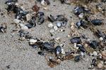 Aallot ovat tuoneet rantaan valtavan määrän pieniä simpukoita.