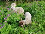 Esteri ja Pipsa käyvät päivittäin vapaina läheisellä niityllä ruokailemassa.