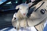 Kahden päivän ikäinen karitsa lähdössä autokyydillä Pihlavaan