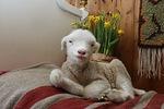 HYvää pääsiäistä. Olen teidän pääsiäislampaanne.