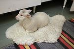 Kuuden viikon ikäisenä Esteri ei ole enään pieni karitsa vaan nopeasti kasvanut lammasneito