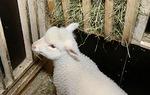 Kuivan heinän syöntiäkin piti karsinassa kokeilla