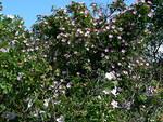 Villiruusut kukkivat yksinäisellä luodolla suurina pensaikkoina