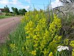 Kylätien pientareet kukkivat keltaisina
