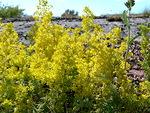 Keltainen hehkuu heinäkuussa saaristossa sekä suurina...