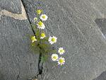 Ulkosaariston kukkapenkki. Tämän karumpi tuskin kasvupaikka voi olla!
