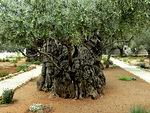 Tällä Getsemanen öljypuulla voi olla ikää jopa pari vuosituhatta
